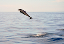 """Bottlenose Dolphin- Sea of Cortez, MX"" by Jonathan Lavan"