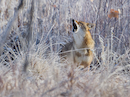 """Coyote barking on a cold and frosty winter morning in Broomfield, Colorado"" by Dawn Wilson"
