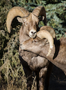 """Ram love near Georgetown, Colorado"" by Dawn Wilson"