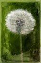 """Dandelion Portrait"" by David Morel"