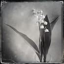 """Lily of the Valley"" by Marian Rubin"