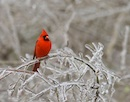 """Cardinal"" by James Chapman"