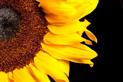 """Sunflower"" by Michael Morris"