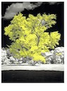 """The Vanderbilt Gingko Tree (Digital Infrared and watercolor)"" by Thom Taylor"